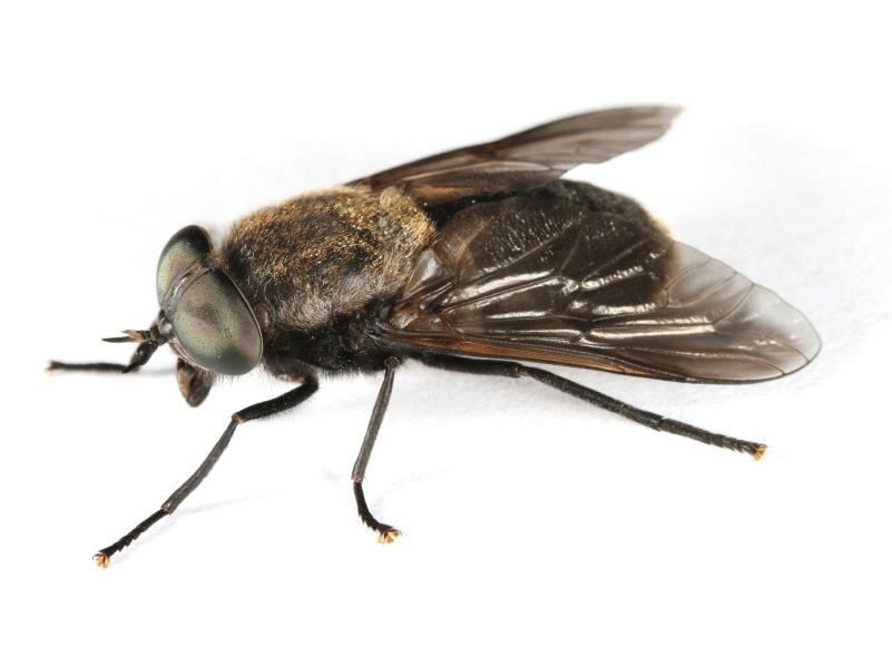 exterminateur d 39 insectes volants axon extermination. Black Bedroom Furniture Sets. Home Design Ideas